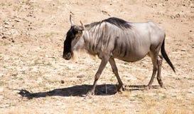 Wildebeest w parku Zdjęcia Royalty Free