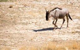 Wildebeest w parku Fotografia Stock