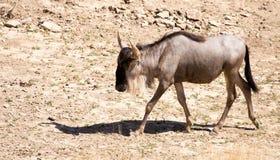 Wildebeest w parku Obrazy Royalty Free