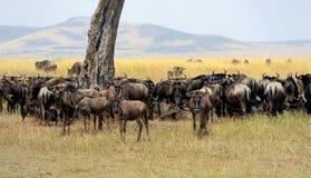 Wildebeest w parku narodowym Afryka Zdjęcia Royalty Free