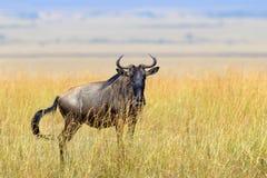 Wildebeest w parku narodowym Afryka Zdjęcie Stock