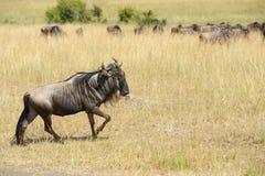 Wildebeest w parku narodowym Afryka Obrazy Stock