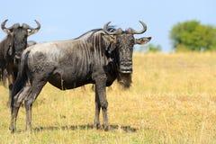 Wildebeest w parku narodowym Afryka Obraz Stock