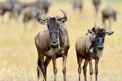 Wildebeest w parku narodowym Afryka Fotografia Stock