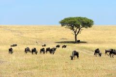 Wildebeest w parku narodowym Afryka Obrazy Royalty Free