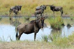 Wildebeest w parku narodowym Afryka Zdjęcia Stock