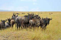 Wildebeest w parku narodowym Afryka Obraz Royalty Free