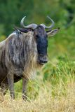 Wildebeest w parku narodowym Afryka Fotografia Royalty Free
