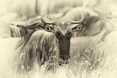 Wildebeest w parku narodowym Afryka Rocznika skutek Zdjęcie Stock