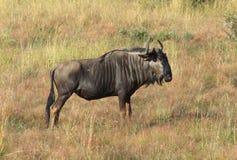 Wildebeest w Południowa Afryka Zdjęcia Royalty Free