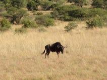 Wildebeest w Południowa Afryka Zdjęcia Stock