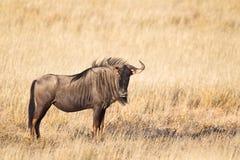 Wildebeest w suchym obszarze trawiastym Obrazy Stock