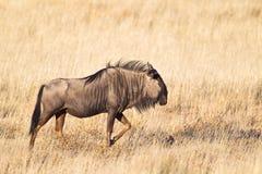 Wildebeest w suchym obszarze trawiastym Fotografia Stock