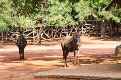 Wildebeest w zoo Zdjęcie Stock