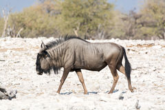 Wildebeest walking Stock Photography