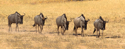 Wildebeest walking in line Stock Image