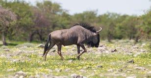 Wildebeest walking the plains of Etosha National Park Royalty Free Stock Photography