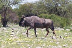 Wildebeest walking the plains of Etosha National Park Royalty Free Stock Images