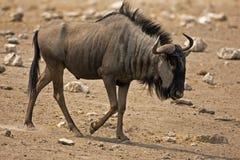 Wildebeest walking in rocky field Stock Photography