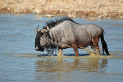 Wildebeest walking in water Stock Image