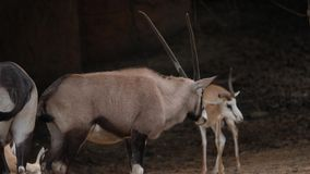 Wildebeest walking in the wild stock video footage