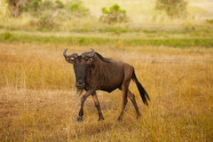 Wildebeest walks alone in dry riverbed of savanna Stock Image