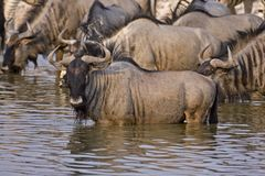 Wildebeest at waterhole Stock Image