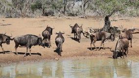 Wildebeest at the waterhole stock video footage
