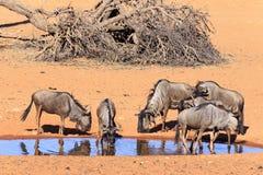 Wildebeest in  Kalahari Namibia Royalty Free Stock Photos