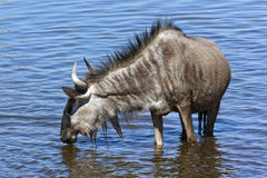 Wildebeest in a waterhole - Namibia Royalty Free Stock Image