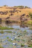 Wildebeest at Watering. Watering with water lilies. Masai Mara, Kenya Royalty Free Stock Photo