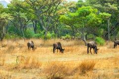 Wildebeest weidt vreedzaam bij de rand van een inheems bos Royalty-vrije Stock Foto's
