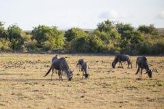 Wildebeest. White Bearded or Blue Wildebeest Stock Photo