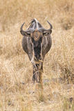 Wildebeest. White bearded wildebeest (Connochaetes tuarinus mearnsi) , closeup,  Maasai Mara National Reserve, Kenya Stock Images