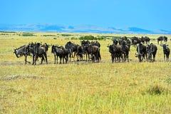 Wildebeest in the wild African savannah Kenya Stock Image