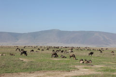 Wildebeest Wild Antelope Gnu Stock Photo