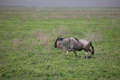 Wildebeest Wild Antelope Gnu Stock Image