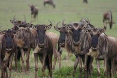 Wildebeest Wild Antelope Gnu Royalty Free Stock Images