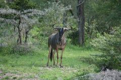 Wildebeest Wild Antelope Gnu Stock Photography
