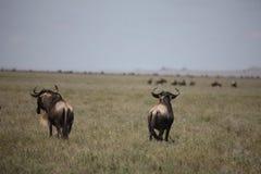 Wildebeest Wild Antelope Gnu Stock Photos