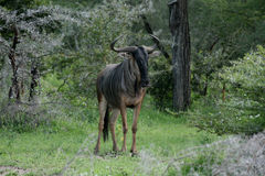 Wildebeest Wild Antelope Gnu Royalty Free Stock Images