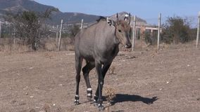 Wildebeest stock footage