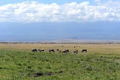 Wildebeest Stock Images