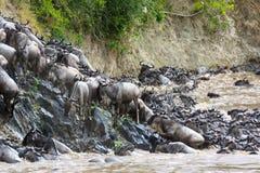 Wildebeest wspina się riverbank zdjęcia royalty free