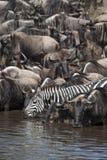 Wildebeest y cebras imágenes de archivo libres de regalías