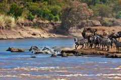Wildebeest y cebras que cruzan el río Mara Imagenes de archivo