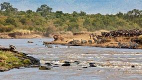 Wildebeest y cebras que cruzan el río Mara Imagen de archivo libre de regalías