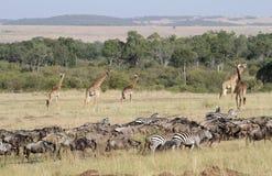 Wildebeest y jirafa en la migración Foto de archivo