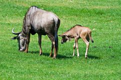 Wildebeest young and Mother Royalty Free Stock Image