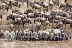 Wildebeest and zebra drinking from the Mara river. A large group of wildebeest and zebra gather at the riverbank for a river crossing during the great annual stock image